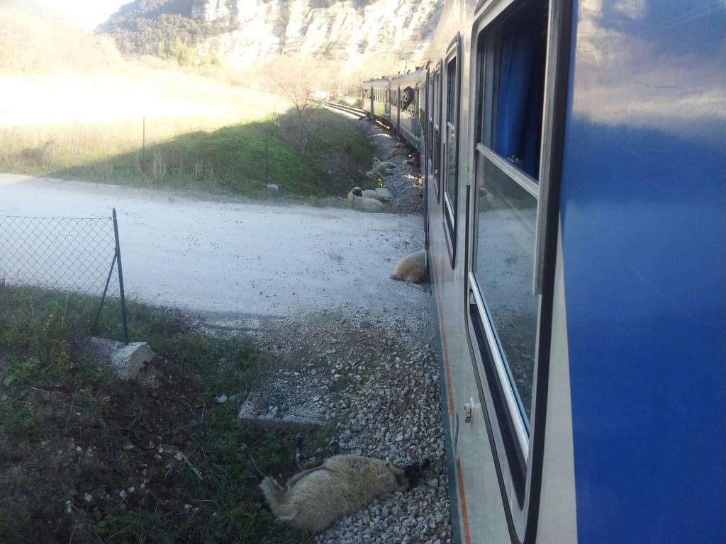 pecore treno